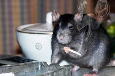 Piden inspeccionar el lugar donde los  ratones se habrían comido la marihuana…